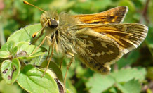 The silver-spotted skipper, needs temperatures of 25°C to become fully active. Credit: Zoe Davies.