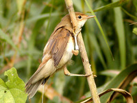 The nose knows. Reed warblers know where they are thanks to receptors in their noses. Credit: Andrey Mukhin/Rybachy field station, Russia