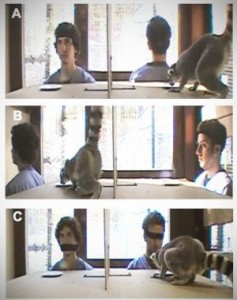 In a series of stills taken from videotaped experiments, Duke undergraduates Joel Bray (left) and Aaron Sandel test a ringtailed lemur's (Lemur catta) willingness to take food from a watched or unwatched plate. Credit: Evan MacLean, Duke