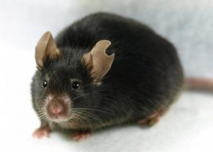 This image shows a female mouse cloned from a peripheral leukocyte. Proven to be fertile by natural mating, she lived for 23 months (within the normal lifespan of lab mice). Credit: Supplemental Figure S1 from Kamimura et al., Biol Reprod 2013.