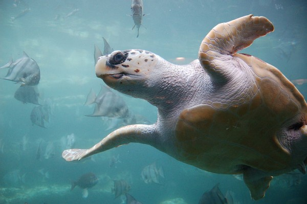 Loggerhead sea turtle. Credit: Wikimedia Commons