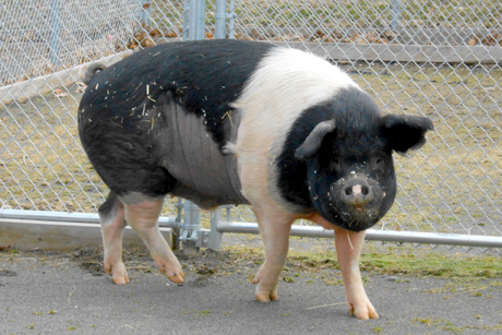 Nemo, a Hampshire pig living at the Cornell University Hospital for Animals, is believed to be the first pig to be treated for lymphoma and to undergo chemotherapy.