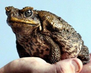 A poisonous cane toad sits on a keeper's hand at the Taronga Zoo in Sydney on April 26, 2005. Australia's cane toad is wiping out populations of a unique miniature crocodile, researchers warned Wednesday, with fears the warty, toxic creature could extinguish the rare reptile.