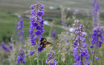 Bumble bee foraging on tall larkspur near the Rocky Mountain Biological Laboratory in Colorado.