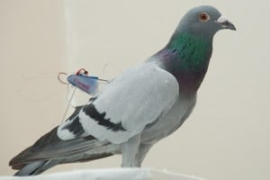 Courtesy of Michael Shafer A pigeon with a Cornell mini backpack.