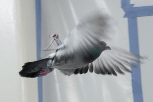 Courtesy of Michael Shafer With a lightweight power supply on its back, a pigeon takes flight around an engineering laboratory.