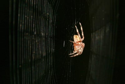 A cross-spider, Araneus diadematus, in its orb web. Like many spiders, this species produces several types of silk: a stiff kind for the radial spokes of the web, and a more flexible kind for the spirals. The flexible silk is easily attracted to the electrostatic charge of nearby insects, increasing the effectiveness of the web at capturing prey. Photo by Victor Manuel Ortega-Jimenez, UC Berkeley.