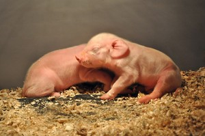 Using newborn piglets as a model for premature human babies, preliminary ARS studies have found that small doses of a bile acid might help the newborns avoid a serious liver disease.
