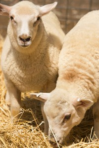 Lambs produced at the U.S. Meat Animal Research Center to have specific combinations of gene haplotypes. Photo by Peggy Greb.