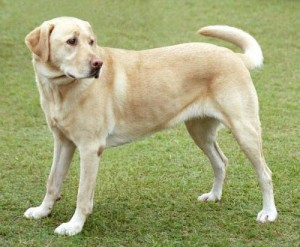 A yellow labrador retriver dog with pink nose. Credit: Wikipedia.