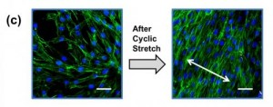 Fibroblasts cultured on RGD-alginate hydrogel became aligned perpendicular to the direction of cyclic stretching (arrow). University of Illinois bioengineers have found a way to strongly adhere hydrogels to hydrophobic silicone substrates, an innovation that provides a valuable new tool for microscale biotechnology. Credit: Cha, C., Antoniadou, E., Lee, M., Jeong, J. H., Ahmed, W. W., Saif, T. A., Boppart, S. A. and Kong, H. (2013), Tailoring Hydrogel Adhesion to Polydimethylsiloxane Substrates Using Polysaccharide Glue . Angew. Chem. Int. Ed.,doi: 10.1002/anie.201302925