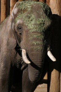 After the death of their popular elephant Misha, Utah's Hogle Zoo agreed to donate one of her tusks to science. Credit: Hogle Zoo