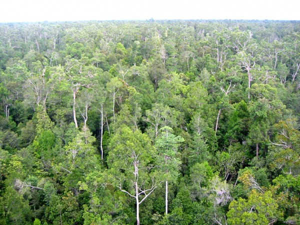 Tropical forests such as this in Borneo remove large quantities of atmospheric carbon dioxide. Credit: H-D Viktor Boehm
