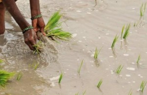 An Indian woman plants paddy saplings in the fields on the outskirts of Hyderabad on July 20, 2011. Japanese biotechnologists on Sunday said they had developed a rice plant with deeper roots that can sustain high yields in droughts that wipe out conventional rice crops.