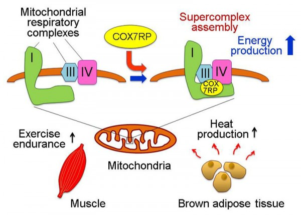 Schematic representation of the functional role of COX7RP in mitochondrial respiration and in muscle and brown adipose tissue. COX7RP promotes the assembly of the I+III+IV supercomplex which is required for full activition of mitochondrial respiration and energy (ATP) synthesis. COX7RP plays important roles in energy production in muscle and heat production in brown adipose tissue. This elucidation of the molecular mechanism of COX7RP action will provide a clue to understanding the mitochondrial contribution to various physiological and pathophysiological states. © Kazuhiro Ikeda and Satoshi Inoue