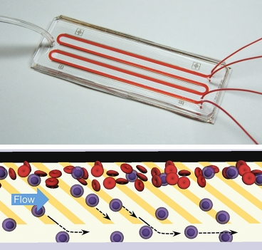 A microfluidic chip, like the one shown above, directly separates neutrophils from blood with ultrahigh purity and high efficiency without the need for cumbersome sample preparation. The chip works by mimicking the physiological process of 'cell rolling' where patterns of adhesive molecules are used to draw out neutrophils (blue) from a stream of blood (red) into a parallel buffer stream as shown in the bottom panel.  Images: Suman Bose and Rohit Karnik