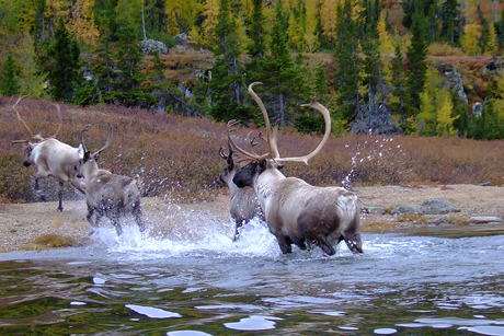 Migratory tundra caribou in the boreal region of Quebec migrate hundreds of miles and require large tracts of protected wilderness. Photo courtesy Valerie Courtois, Canadian Boreal Initative