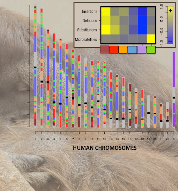 This image charts the rates at which four types of mutations segment human chromosomes: insertions, deletions, substitutions, and microsatellite-repeat-number changes.   As part of their research, scientists led by Penn State University Professors Kateryna Makova and Francesca Chiaromonte compared human DNA with DNA from other primates including orangutans (illustrated in the background) and then processed the human DNA sequence using a statistical segmentation technique. Credit: K. Makova and F. Chiaromonte, Penn State University