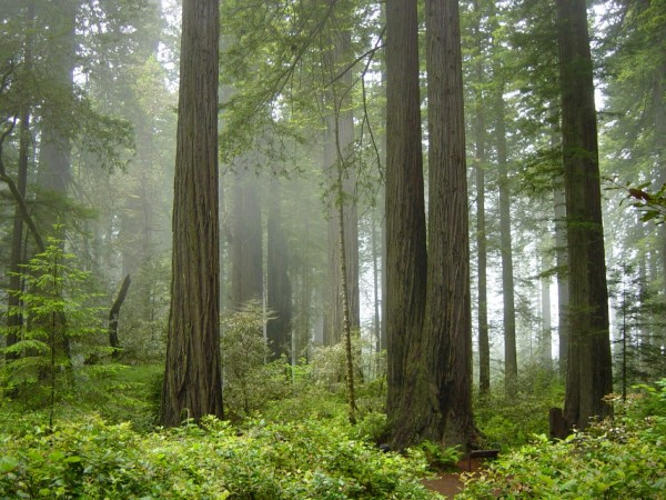 Iconic coastal redwood forests are threatened by a link between disease and wildfire. Credit: NPS
