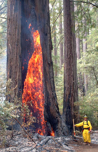 Fire consumes a once-healthy California redwood tree. Credit: USFS
