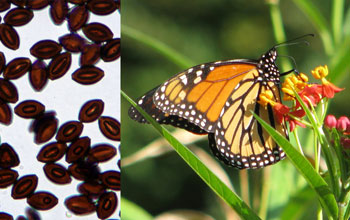 Monarch butterflies carry infections in parts of the U.S. where they breed year-round.