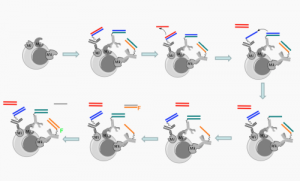 This graphic shows a molecular robot (automaton) in action. To tag cells (grey circle) that display the Mi, Mj, and Mk receptors, five different components of a molecular robot are deployed. Each of the first three components consists of DNA and an antibody; one antibody binds to each receptor, bringing its DNA (represented by the colored lines) close together on the cell. The fourth DNA component, represented by the single red line, then initiates a chain reaction by pulling the red DNA strand away from the first antibody. That causes the blue DNA strand to change position, followed by the green DNA strand. In the final step, the last antibody pulls a fluorescent DNA strand (labeled F) from the fifth component, completing the action of the robot. Credit: Milan Stojanovic, Ph.D./Columbia University Medical Center