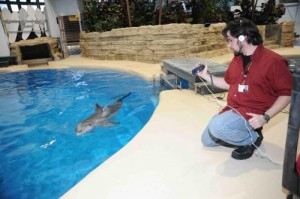 Jason Bruck, who completed his Ph.D. this summer at the University of Chicago, is pictured here working with a dolphin at the Brookfield Zoo near Chicago. His research indicates that dolphins have the longest social memory ever recorded among non-human species. Credit: Jim Schulz/Chicago Zoological Society