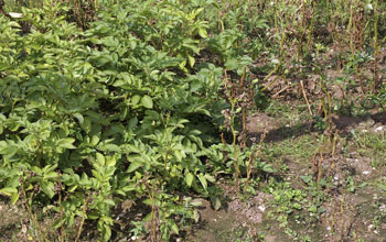 Late-blight-resistant potato plants, on left, compared with potatoes suffering from the disease