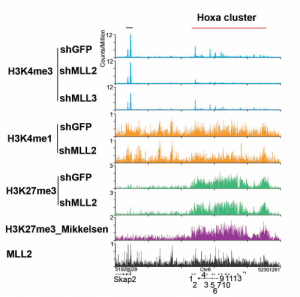 A detailed analysis of the methylation patterns of histone H3 revealed a nuanced picture of the epigenetic rules governing expression of developmental genes in mouse embryonic stem cells. The image shows a ChIP-seq track file example of H3K4me3 at mouse Homeobox (Hox) gene clusters. Credit: Study's authors and Nature Structure & Molecular Biology.