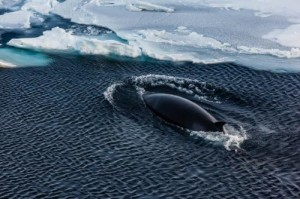 After coming up for air an Antarctic mink whale is descending underneath the sea ice of the Weddell Sea. Mink whales are the biggest winter inhabitants of the antarctic sea ice. They measure up to 10 meters in lenght and weight up to 10 metric tons. Nevertheless, they belong to the smaller members of the family of plankton feeding baleen whales. Credit: Photo: Mario Hoppmann, Alfred-Wegener-Institut