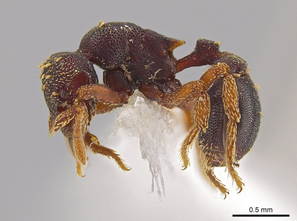 A side view of the new ant species Eurhopalothrix zipacna. Mounting glue and paper appear beneath the ant, one of 33 new species discovered in Central America by Jack Longino, a biologist at the University of Utah. Photo Credit: John T. Longino, University of Utah.