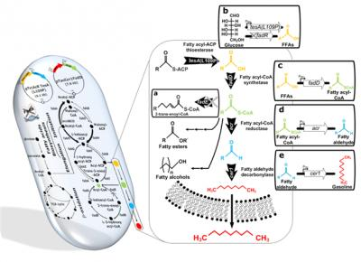This diagram shows the metabolic engineering of Escherichia coli for the production of short-chain alkanes (gasoline) from renewable biomass. Credit: KAIST