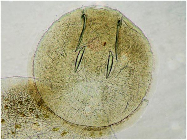 Sclerite 'fangs' clearly visible in the attachment organ facilitate the parasite's capacity to remain attached to the fish host whilst feeding on skin tissue.