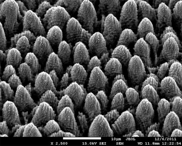 Figure 2 . Image of the surface of titanium coated with micrometer cones with nanometer-scale quasi-periodic relief imaged by scanning electron microscopy.