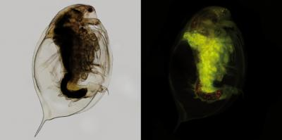 This is an image of the freshwater crustacean D. magna. Fluorescent overview image showing fluorescent microplastic particles in the digestive tract. Credit: Current Biology, Imhof et al.