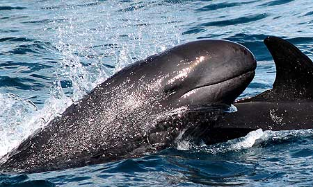 False killer whales (Pseudora crassidens) have teamed up with a school of bottlenose dolphins (Tursiops truncates) to make New Zealand their summer home