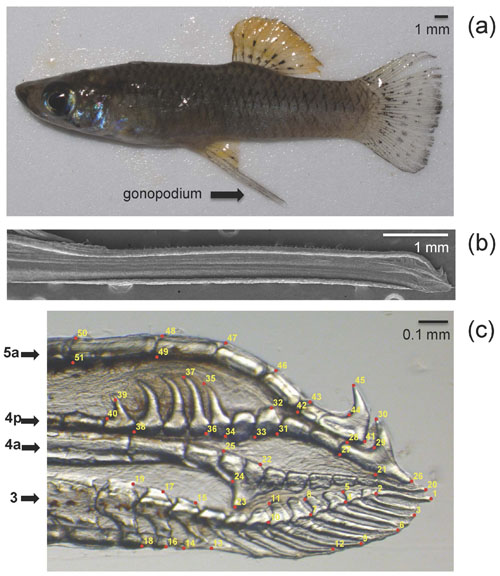 The male Gambusia hubbsi (a) and its sperm-transferring organ (b). The threat of predators is linked to differences in the organ tip's shape (c).