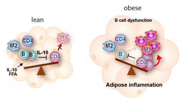 Adipose tissue inflammation regulated by immune cells. Adipose tissue inflammation is positively regulated by CD8+ T cells and M1 macrophages and negatively regulated by regulatory B cells. In this study, researchers elucidated the mechanism by which the novel regulatory B cells in adipose tissue suppress adipose tissue inflammation through the cytokine Interleukin-10. © Satoshi Nishimura, Ichiro Manabe, Ryozo Nagai