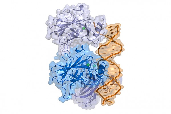 A structural diagram of the p53 protein bound to a molecule of DNA.  Image: Wikimedia Commons/ Thomas Splettstoesser