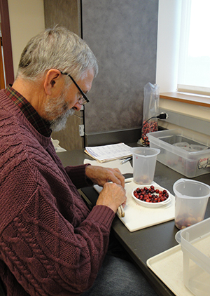 Frank Caruso sorts through cranberry samples for signs of fruit rot, which can reduce a grower's crop yield. (Photo by Kim Binczewski, WSU)