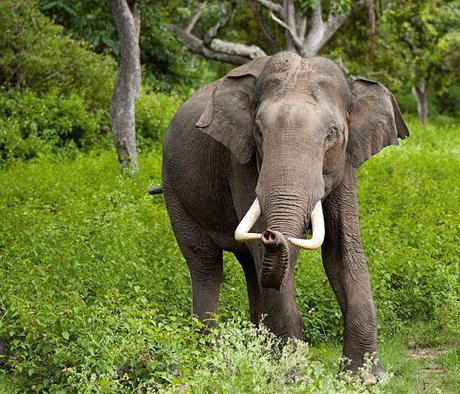 A Cornell and Smithsonian Institution study published in PLOS-ONE has found that how sperm is collected in Asian elephants matters in preserving this endangered species.