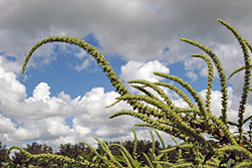 Palmer amaranth is an aggressive weed of the south that can grow at the rate of two inches a day and outcompete many crops. Photo courtesy of Joseph LaForest, University of Georgia