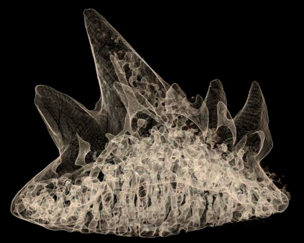 A scan of a 380million-year-old tooth from a fossil shark found at Gogo, Western Australia, showing internal canals and other features. Credit: Tim Senden