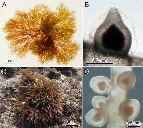 © Masahiro Suzuki, Morphology of Champia lubrica and C. parvula. (A). Photo of C. lubrica. (Location: Iwate Prefecture, Yamada Town.) (B). Cystocarp of C. lubrica. Shape is conical with pointed tip. (C). Photo of C. parvula. (Location: Chiba Prefecture, Choshi) (D). Cystocarp of C. parvula. Shape is rounded without a pointed tip, and the base is somewhat constricted.