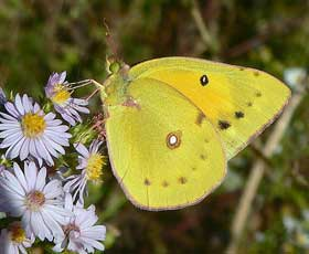 A Colias (sulphur) butterfly. (Photo by Greg Hume)
