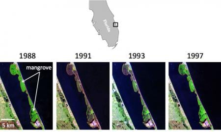 A very harsh winter in 1989 caused mortality in mangroves and damaged citrus crops. Satellite images show how mangroves rebounded when they were no longer threatened by cold snaps. Credit: Kyle Cavanaugh/James Kellner