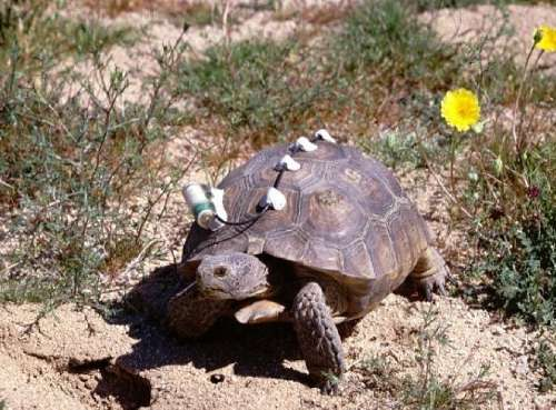 A female Agassiz's desert tortoise photographed at the Joshua Tree study site. The radio transmitter and antenna allow scientists to relocate the tortoise and collect data on movements, reproductive output, and survival. Photographer: Jeff Lovich , USGS