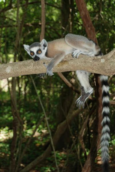 A new study led by CU-Boulder has shown Madagascar's ring-tailed lemurs are the only wild primates in the world that sleep in the same caves on a nightly basis. Photo courtesy Michelle Sauther, University of Colorado