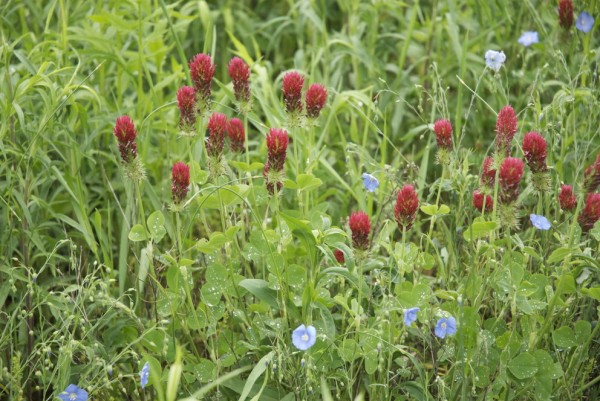 Because dicamba and 2,4-D typically target broadleaf plants, such as wildflowers, and not grasses, the researchers found that the number of wildflowers diminished, while grasses soon dominated the field edges, which were once blends of broad leaf plants and grasses. Image: J. Franklin Egan/Penn State