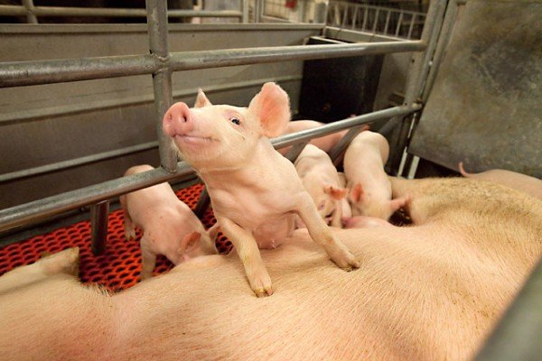 Creatine plays a significant role in energy metabolism that has been shown to have an effect on the survival of newborn piglets until they're weaned. Photo by Stephen Ausmus.